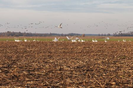 Birds on agricultural field in autumn time.