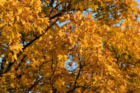 Yellow trees in autumn time.