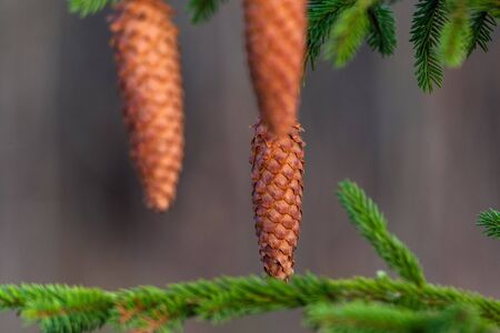 Brown cones on green fir tree. Stockfoto