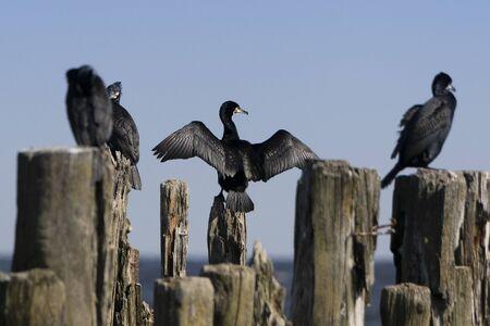 Cormorants on old wooden breakwater at sea.