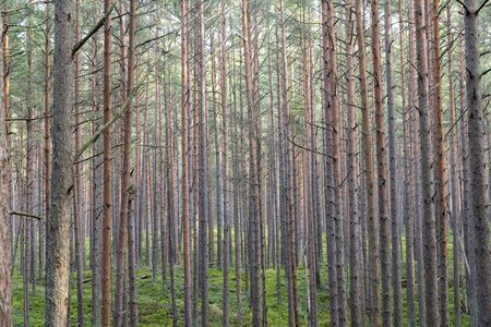 Young pine forest near to Baltic sea coast. Reklamní fotografie
