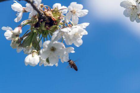 Honey bee and cherry flowers.