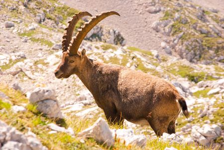 controling: Rock goat controling his territory in mountains