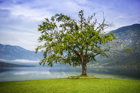 Old big tree standing alone in the lake with high mountains in the back, Bohijn Lake, Slovenia