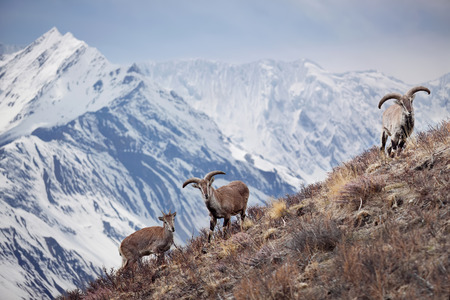 Wild blue sheep are standing on a hill next to Himalayas. Nepal, ACAP, Manang region, 4,550 m Stock Photo