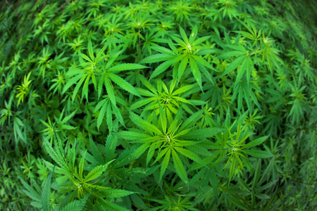 medicinal marijuana: Cannabis growing in the field.