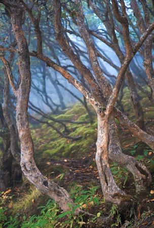 Rododendron bomen dicht groeien op een bemoste heuvel.