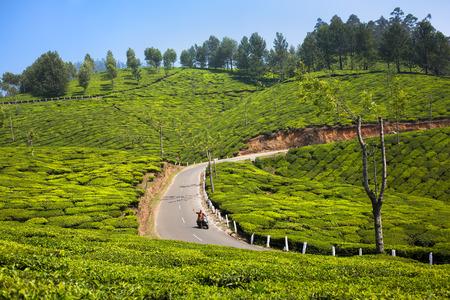 Een man is op de weg reizen over de groene thee velden op een zonnige dag.