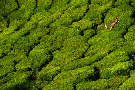 A man is laying on the beautiful and bright green tea bushes. Stock Photo
