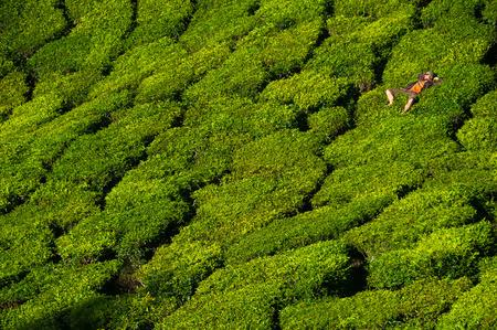 Un homme est couché sur les belles et lumineuses buissons de thé vert. Banque d'images