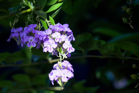 Close up beautiful Duranta erecta flower, blurred garden as background.