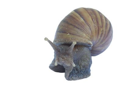 Macro snail on white background