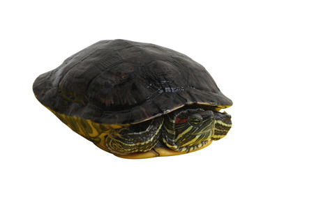 Red-eared slider on white background Banque d'images