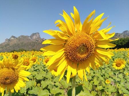 Sunflower in field of Thailand.