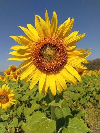 Sonnenblume auf dem Gebiet von Thailand.
