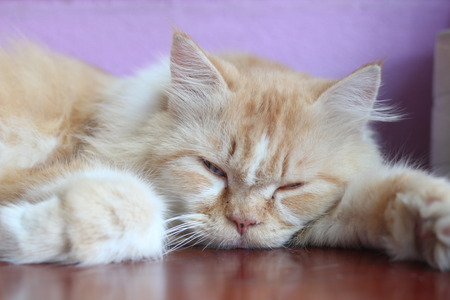 An orange Persian cat is sleeping on an old wooden table. Background purple color.