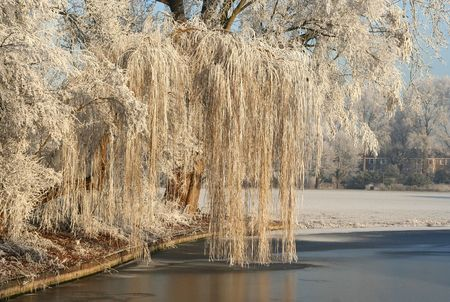 Frozen weeping willow in the park Stock Photo - 3531488