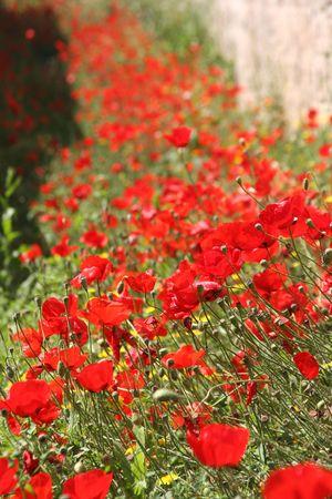 Field of poppies in Greece photo
