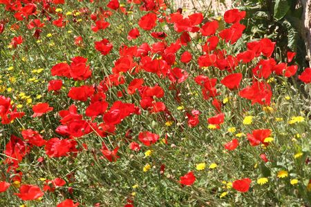 Field of wild poppies in Greece Stock Photo - 6660756