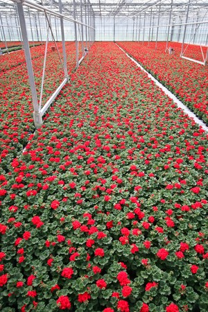 Red flowers in a greenhouse photo