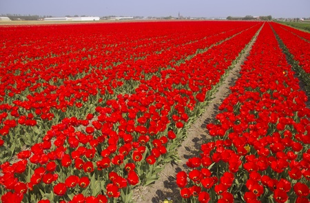 Large tulip field in Holland photo
