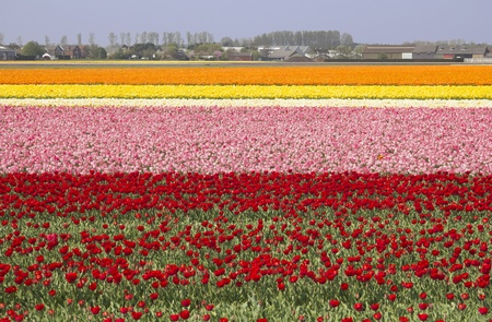 Extensive flowerfields of many colors in Holland photo