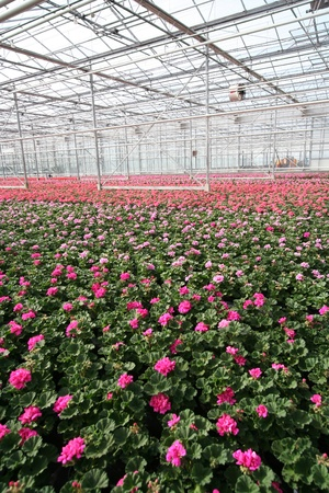 Flowers in a greenhouse photo