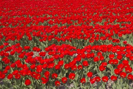 Tulip field in Holland photo