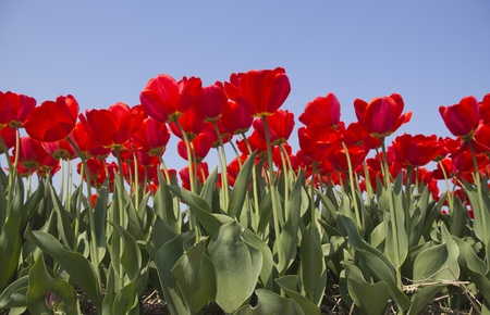 Tulips in the flowerfields in Holland photo
