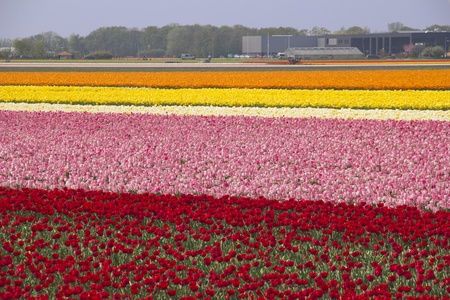 extensive: Extensive flowerfields of many colors in Holland