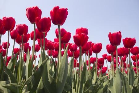 Flowers in a flower field in Holland photo