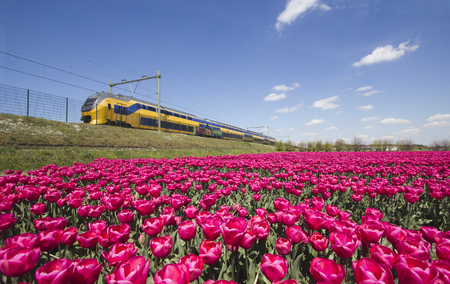 holland: Yellow train speeds past fields of red flowers in Holland Editorial