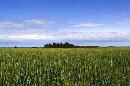 Photo of a farmers field with a green crop and a group of treees in the middle looking like an island photo