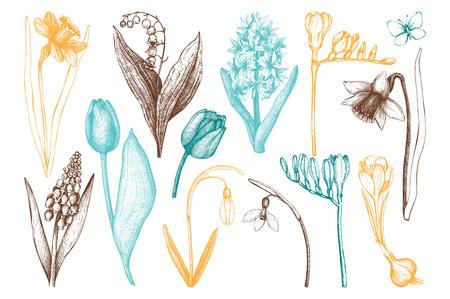 jonquil: Botanical illustrations of springtime plants