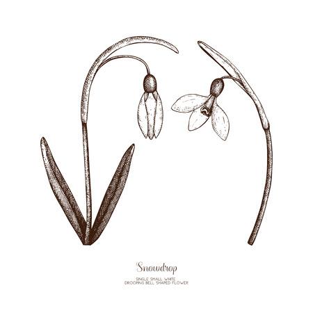 Snowdrop flowers sketch
