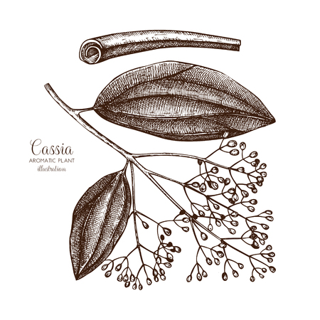 Cassia tree sketch