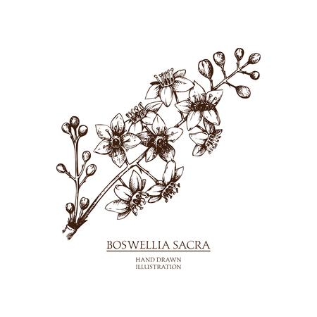 Vector Boswellia illustration Banco de Imagens - 77036359