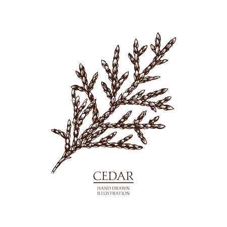 Vector Cedar illustration