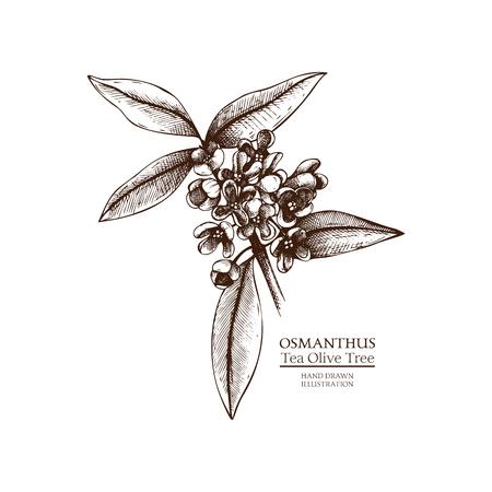 Vector Tea olive illustration Illustration