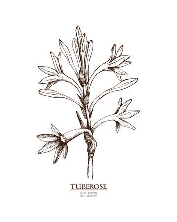 Vector Tuberose illustration Illustration