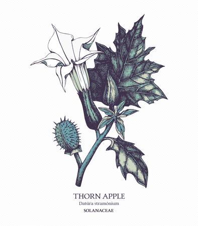 Botanical illustration of Thorn apple.