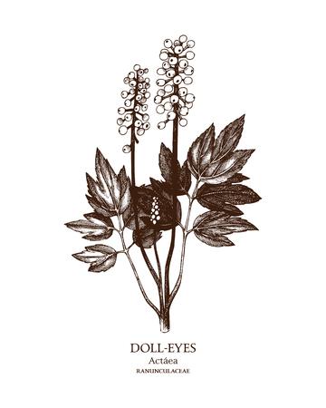 Botanical illustration of Doll-eyes.