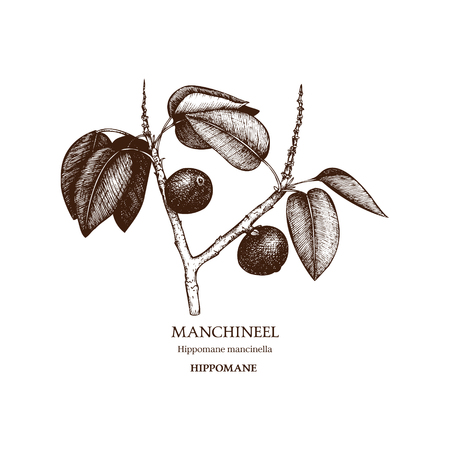 Botanical illustration of Manchineel tree.