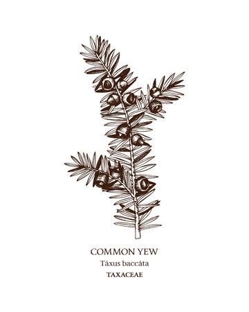 Botanical illustration of Common yew.