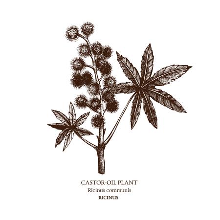 Botanical illustration of Castor oil plant. Stock Illustratie