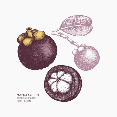 Purple mangosteen fruit illustration
