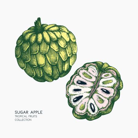 Sugar-apple hand drawn illustration. Illustration