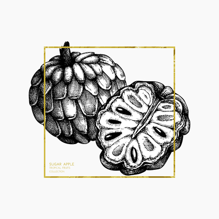 Sugar-apple hand drawn illustration. Illustration