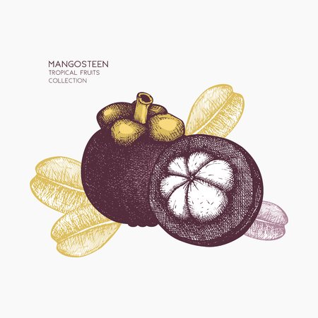 Purple mangosteen fruit illustration