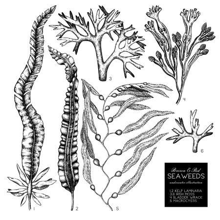 A brown and red seaweeds illustrations